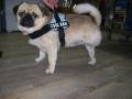 Diego, Hyperextensionssyndrom bei Überlastung nach Gelenksfraktur und Hinterlaufverlust nach Hundebiss