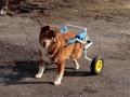 Fynn mit seinem Hunderollwagen