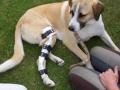Goldie, Entlastungsorthese für das gesunde Bein bei geplanter Hinterlaufverlägerungsoperation nach Fraktur in der Wachstumslinie
