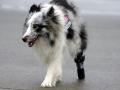 tracy-als-erwachsener-hund