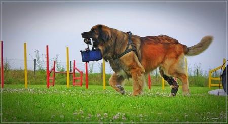 Großer Hund mit Kreuzbandriss