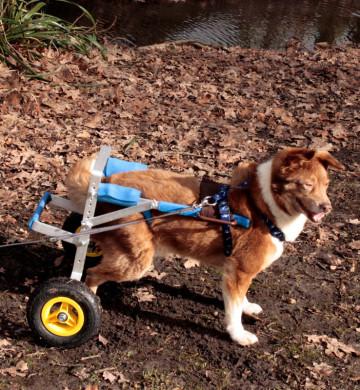 Hund mit Rollwagen